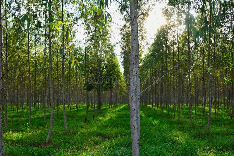 Group of Eucalyptus forest planted in long rows. Grass background .agriculture in Thailand royalty free stock images