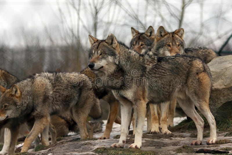 Download Group Of European Gray Wolves Stock Photo - Image: 14370070