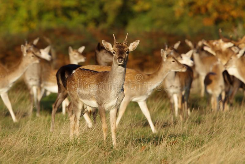 Group of fallow deer standing in the meadow royalty free stock photos