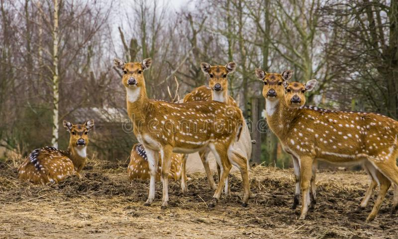 Group of female Axis deers, spotted deer family standing together, Does from India and America royalty free stock photography