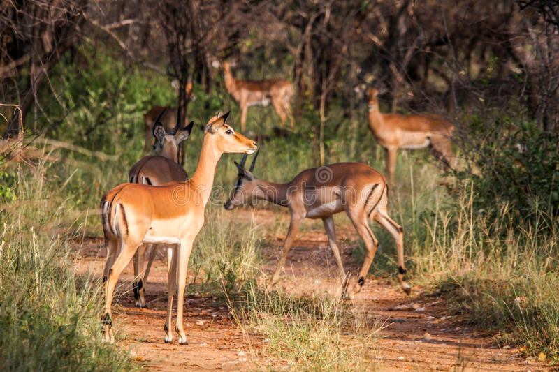 Download Group Of Female Impalas On The Road. Stock Image - Image: 83724161