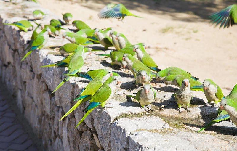 Group of feral Monk Parakeets royalty free stock photo