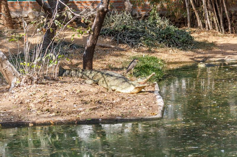 Group of ferocious crocodiles or alligators basking in sun royalty free stock images