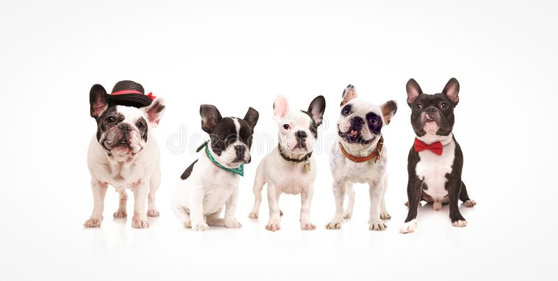 Group of five adorable french bulldogs royalty free stock photos