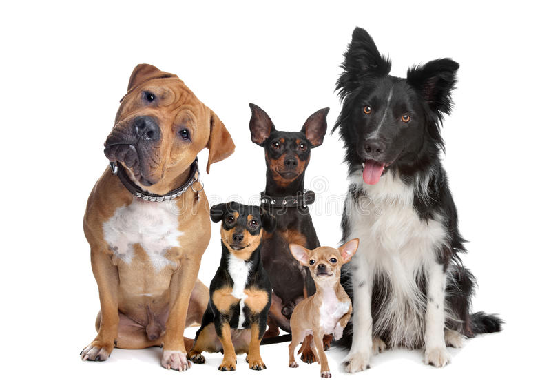 Group of five dogs. Sitting in front of a white background