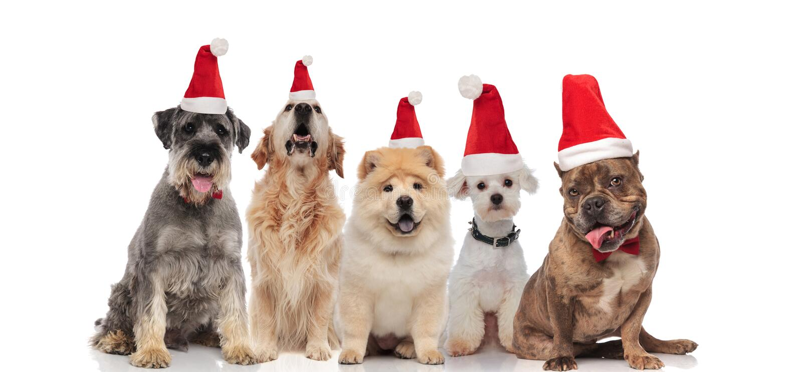 Group of five dogs wearing santa hats panting royalty free stock images