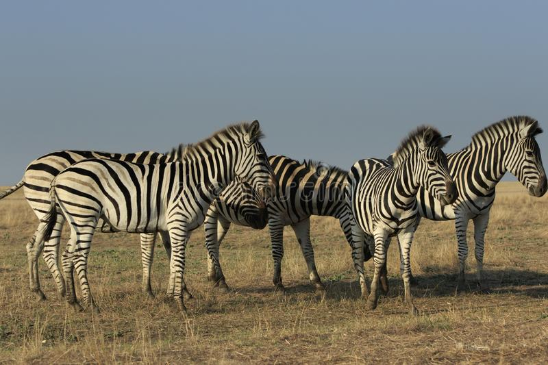 Five Plains Zebras in Steppe stock photography