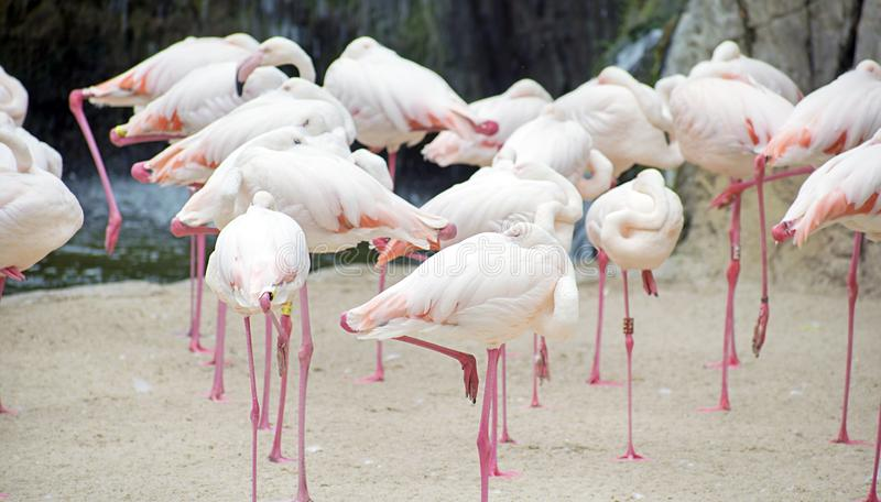 Group of flamingos or Greater flamingo at a pond in a spanish Zoo, hiding their heads under wings stock image