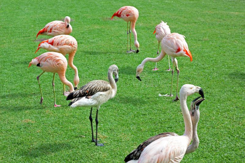 A group of flamingos on a lawn stock images