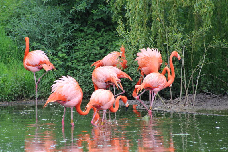 Flamingos. A group of pink flamingos in a lake royalty free stock image