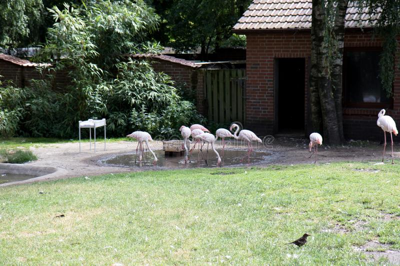 A group of flamingos in their area in a zoo in germany stock image