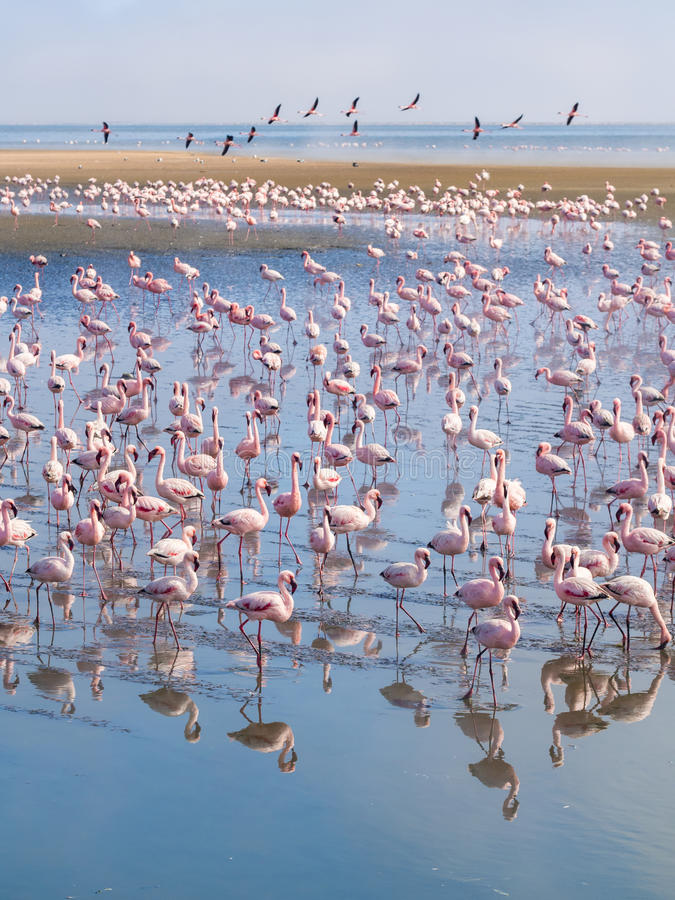 Group of flamingos on Walvis Bay Lagoon stock images