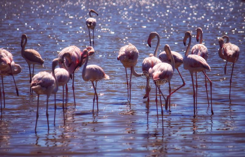 Flamingos in the water at the Camargue in France royalty free stock images
