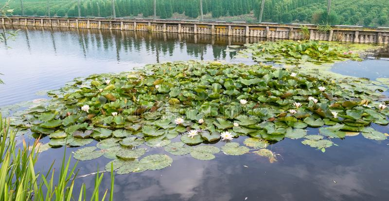 Group of floating flowering water lilies in a pond. Bunch of water lilies flowering in the water. Photograph was taken in the `Green Heart` of Holland royalty free stock images