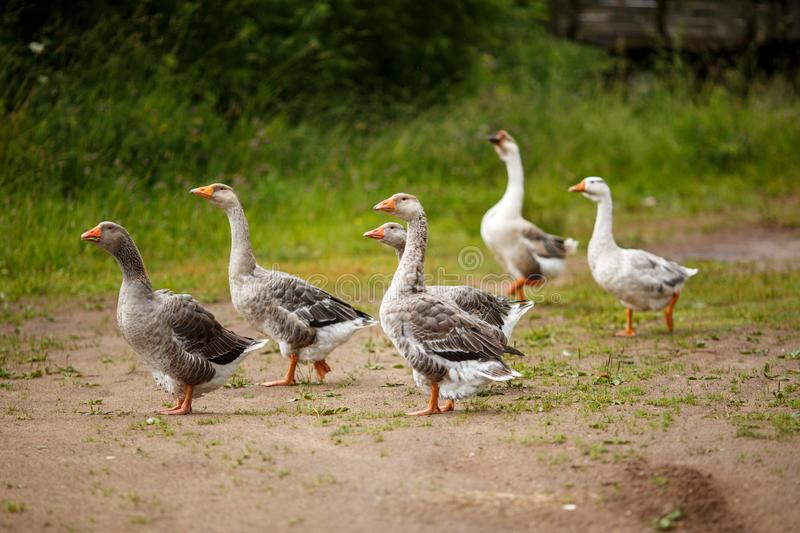 Geese on the field royalty free stock photo