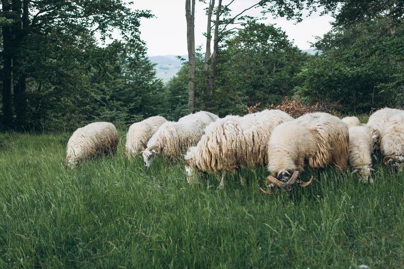 A group or a flock of sheep royalty free stock photography