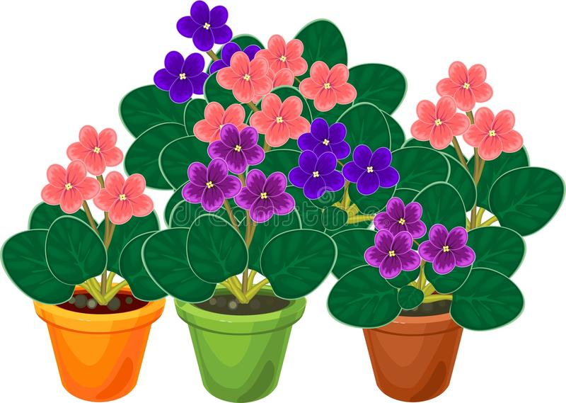 Group of flowering African violets Saintpaulia plant in flower pots royalty free illustration