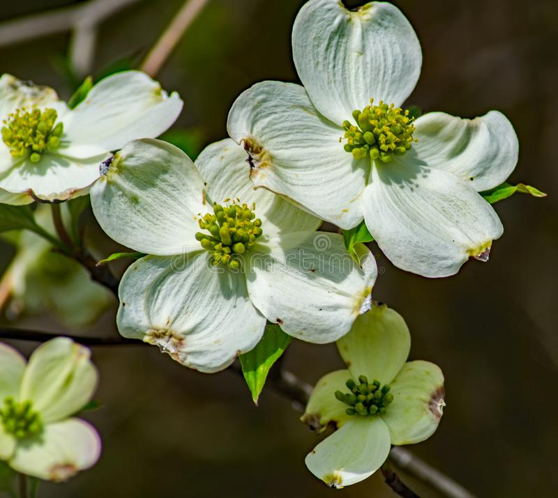 Group of a Flowering Dogwood Flower stock photo