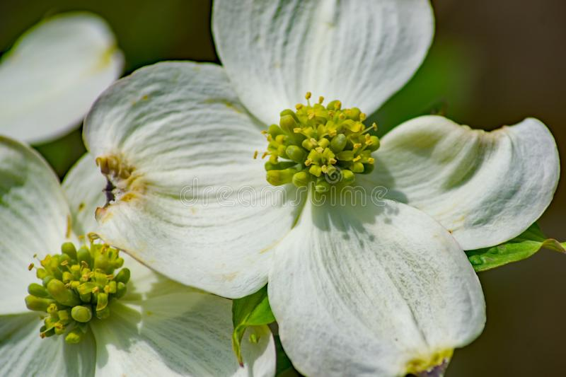 Group of Flowering Dogwood Flower royalty free stock photography