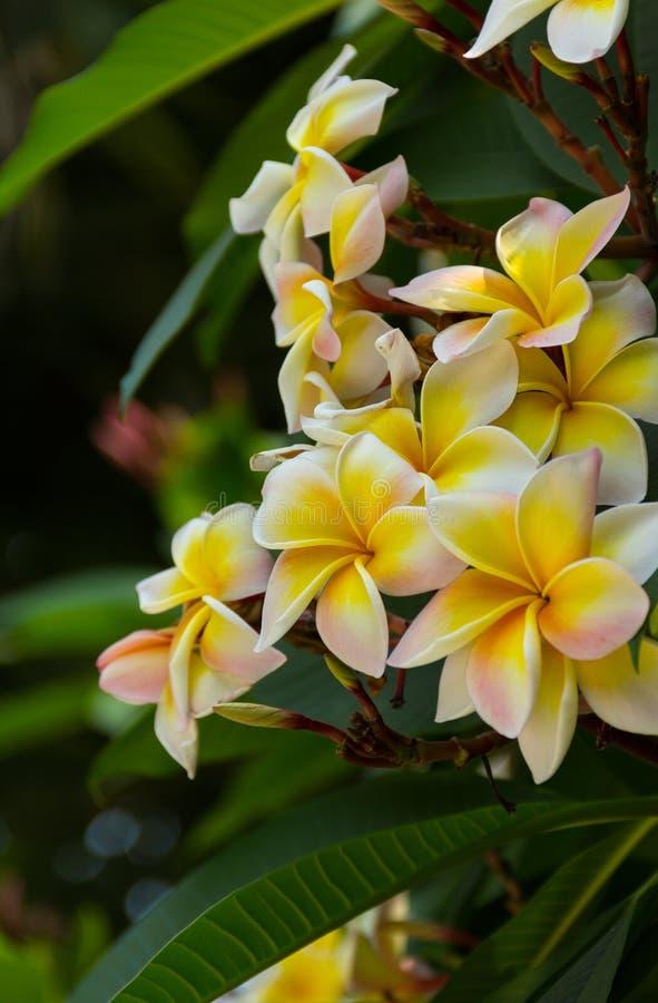 Group of flowers Frangipani Plumeria royalty free stock images