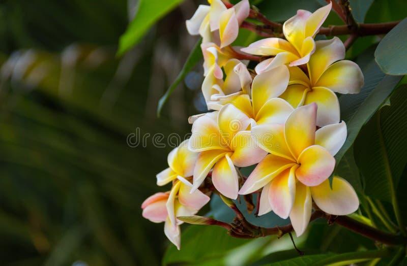 Group of flowers Frangipani Plumeria royalty free stock image