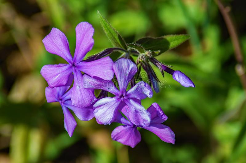 Group of a Forest Phlox – Phlox divaricate. Wild Blue Phlox, also called Wild Sweet William, grows in rich woods and fields in the Blue Ridge Mountains of royalty free stock photo