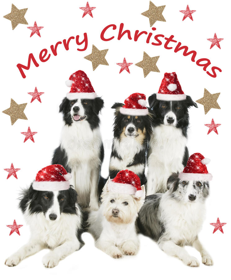 Group of four border collies and one westie dog with santa hat. And stars royalty free stock photo