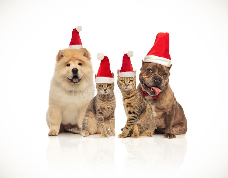 Group of four santa cats and dogs of different breeds royalty free stock photos