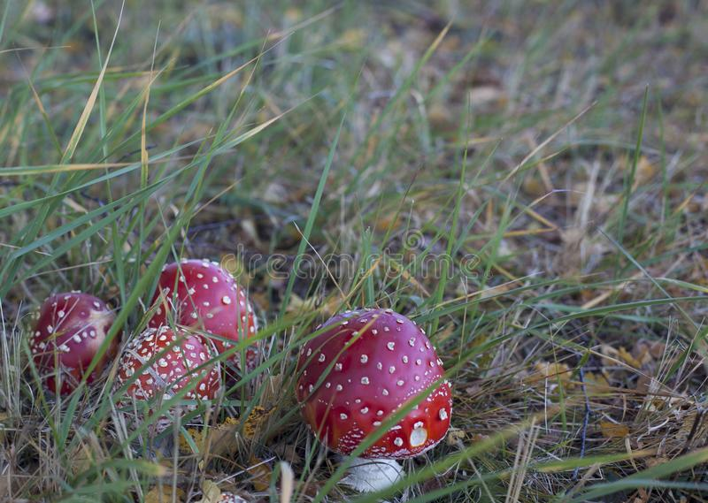 A group of four toadstools in the grass royalty free stock photos