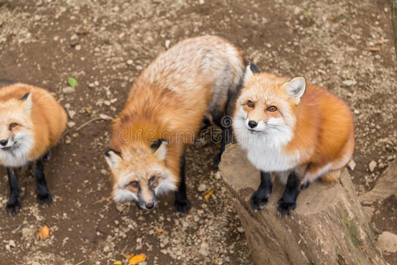 Group of fox ask for food. Outdoor beautiful landscape scenery royalty free stock photography