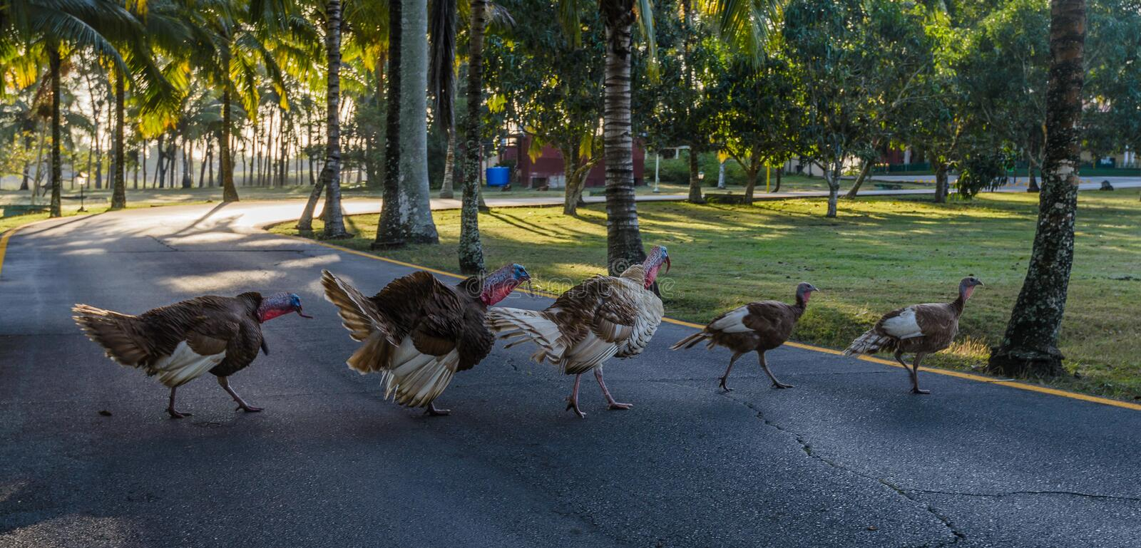 Group of free walking turkey birds and crossing a road stock photos
