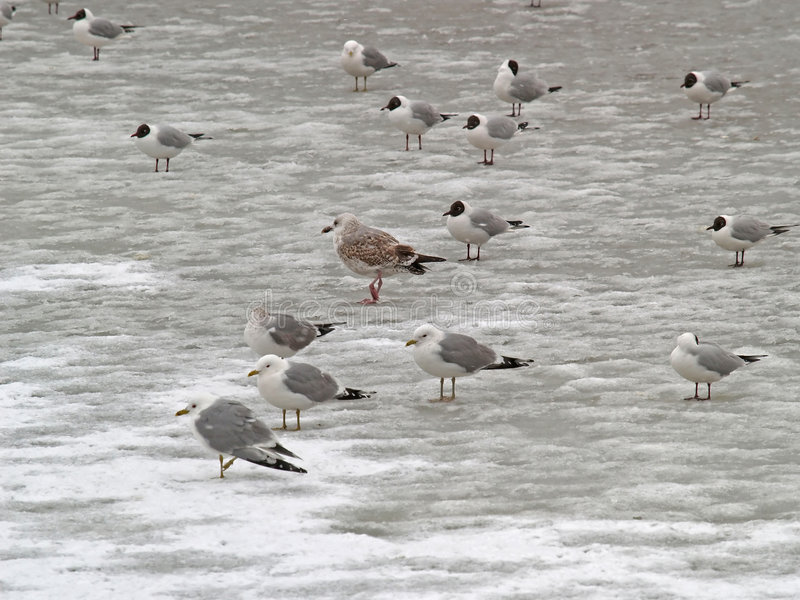 Download Group of freezing seagulls stock photo. Image of team - 1167904