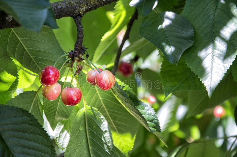 Cherries ripening on the tree royalty free stock images