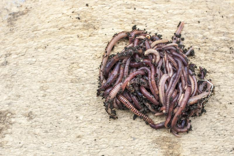A group of fresh earthworms on a light wooden background.Bait for fishing.Copy space stock image