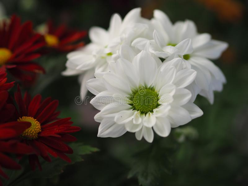 Flowers, flowers chrysanthemum, Chrysanthemum wallpaper, stock photo