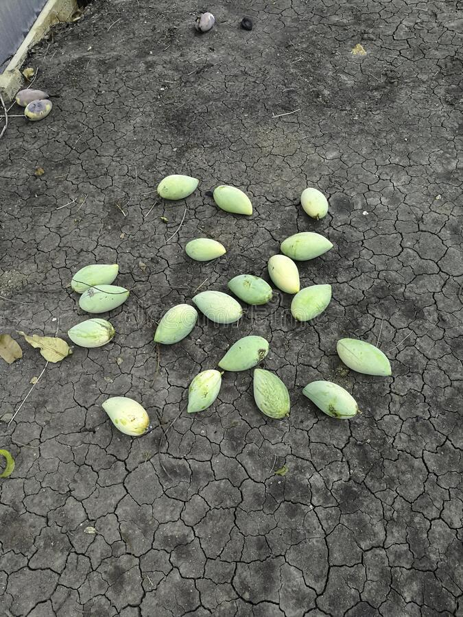 Group of fresh green and yellow mango fruits on dry soil floor. organic food from nature good for health with multi vitamin C. loc. Al thailand fruits . no royalty free stock images