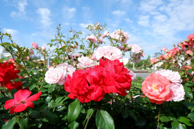Group of fresh red or scarlet roses on a rose bush close up view stock photography