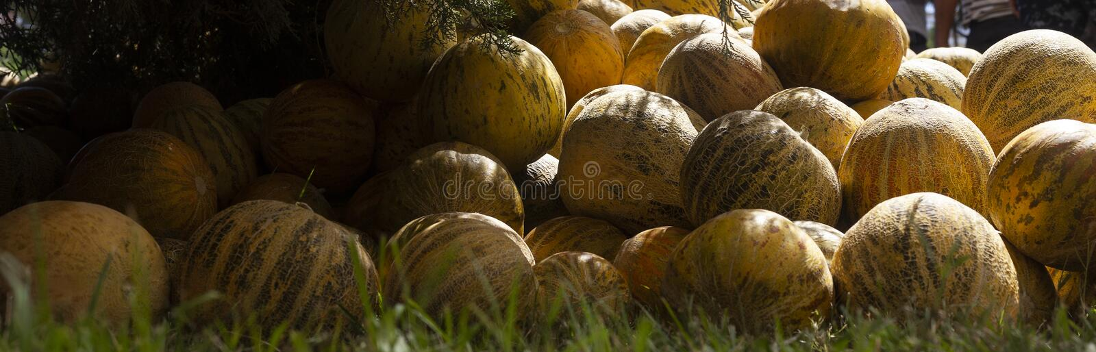 Group of fresh ripe yellow sweet melons. Cantaloupe melons for sale in organic farm. Different group of fresh ripe yellow sweet melons. Cantaloupe melons for stock images