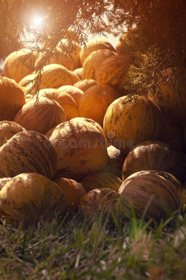 Group of fresh ripe yellow sweet melons. Cantaloupe melons for sale in organic farm. Toned image. Different group of fresh ripe yellow sweet melons. Cantaloupe stock photography