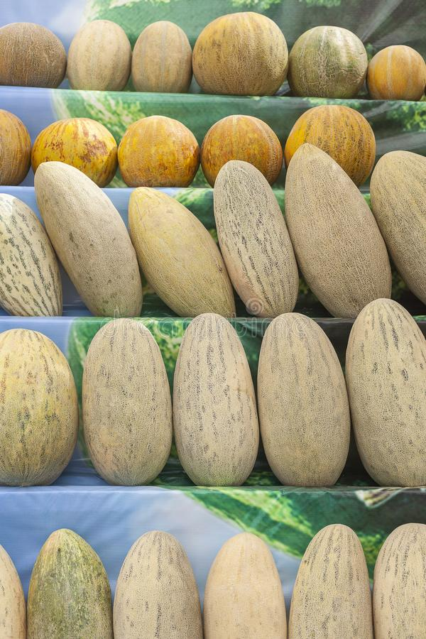 Group of fresh ripe yellow sweet melons. Cantaloupe melons for sale in organic farm. Different group of fresh ripe yellow sweet melons. Cantaloupe melons for royalty free stock images