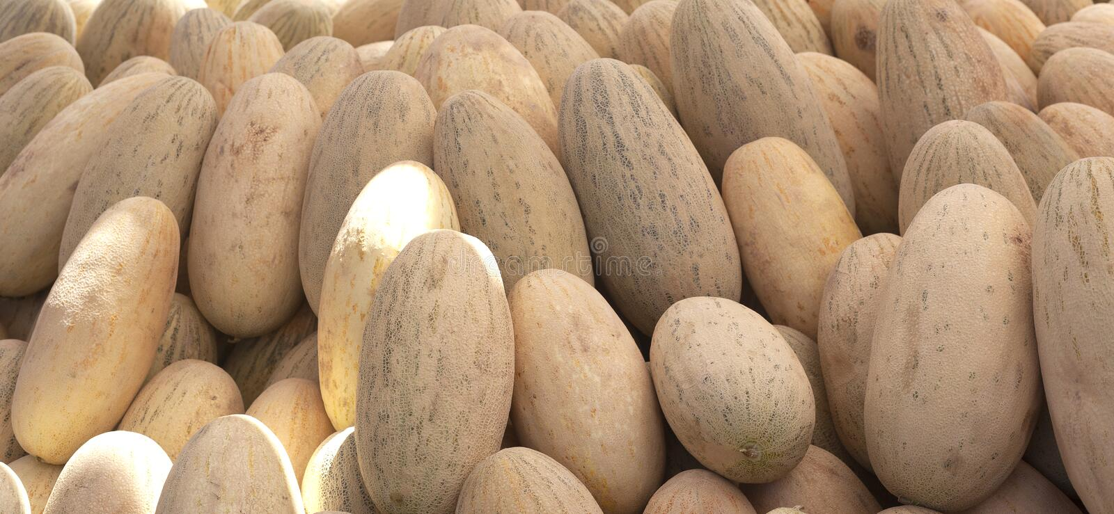 Group of fresh ripe yellow sweet melons. Cantaloupe melons for sale in organic farm. Different group of fresh ripe yellow sweet melons. Cantaloupe melons for royalty free stock photos