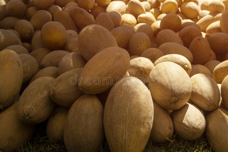 Group of fresh ripe yellow sweet melons. Cantaloupe melons for sale in organic farm. Different group of fresh ripe yellow sweet melons. Cantaloupe melons for stock photo