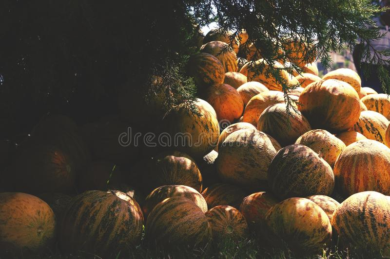 Group of fresh ripe yellow sweet melons. Cantaloupe melons for sale in organic farm. Toned image. Different group of fresh ripe yellow sweet melons. Cantaloupe royalty free stock image