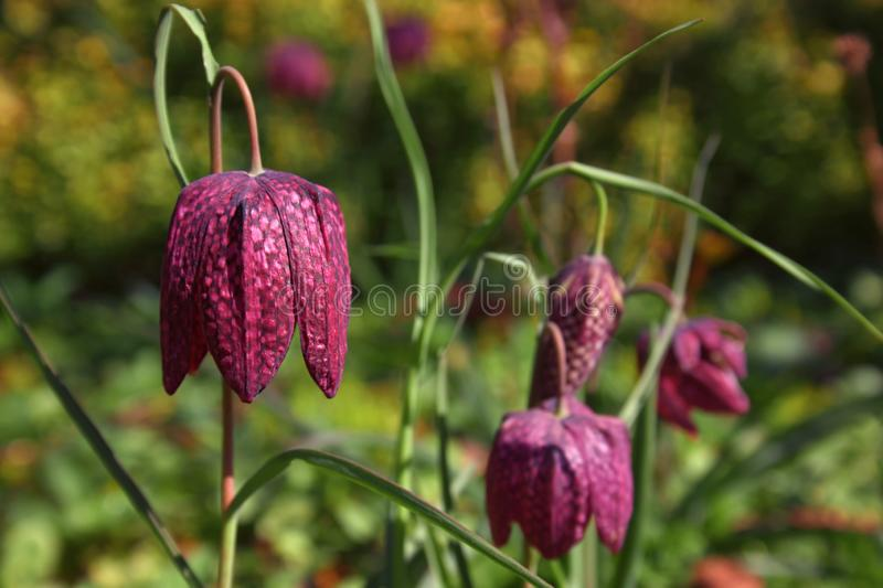 A group of Fritillaria meleagris plants with blossoms - one as cl royalty free stock photos