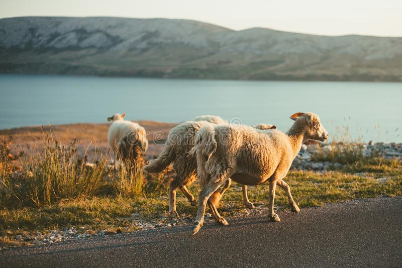Group of a furry sheeps in the Croatia - island Pag feeding and running next to the road on sunset. Illuminated Sheeps on the. Coast standing on the road with royalty free stock images