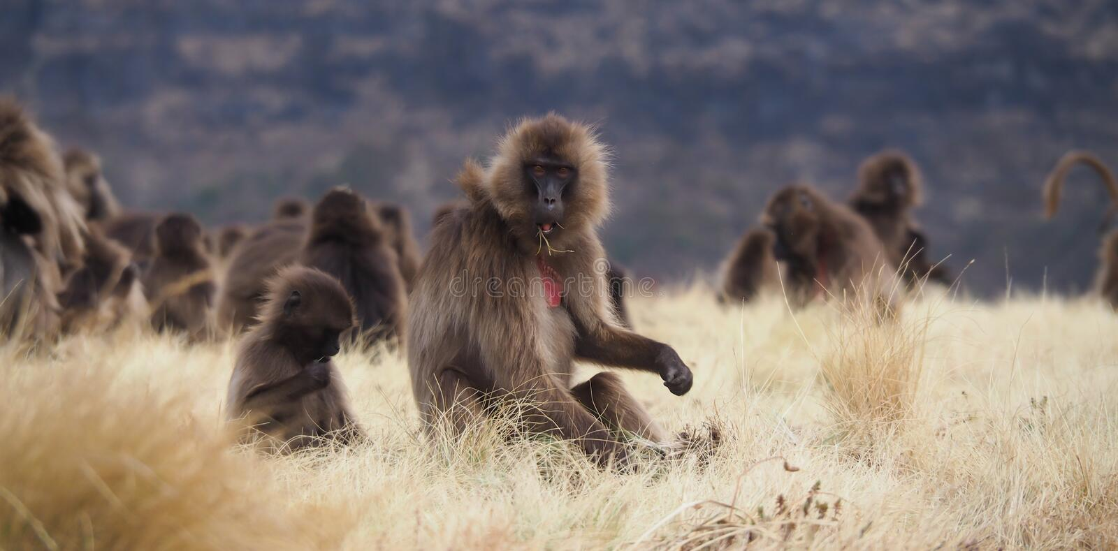Group of Gelada baboons feeding, Theropithecus gelada, in Ethiopia. Family unit of Gelada baboons, Theropithecus gelada, in Semien Mountains, Ethiopia royalty free stock image