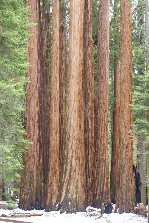 Group of giant sequoias royalty free stock photo
