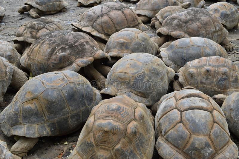 Group of giant turtles who gathered to eat. royalty free stock images