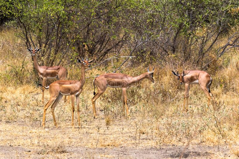 A group of giraffe gazelles in the thickets of Meru. Kenya, Africa royalty free stock photo