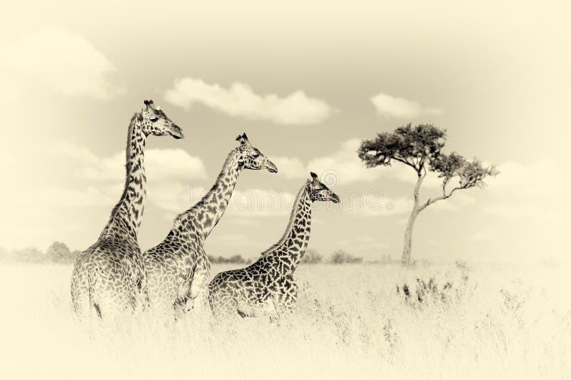Group giraffe in National park of Kenya. Vintage effect royalty free stock photos
